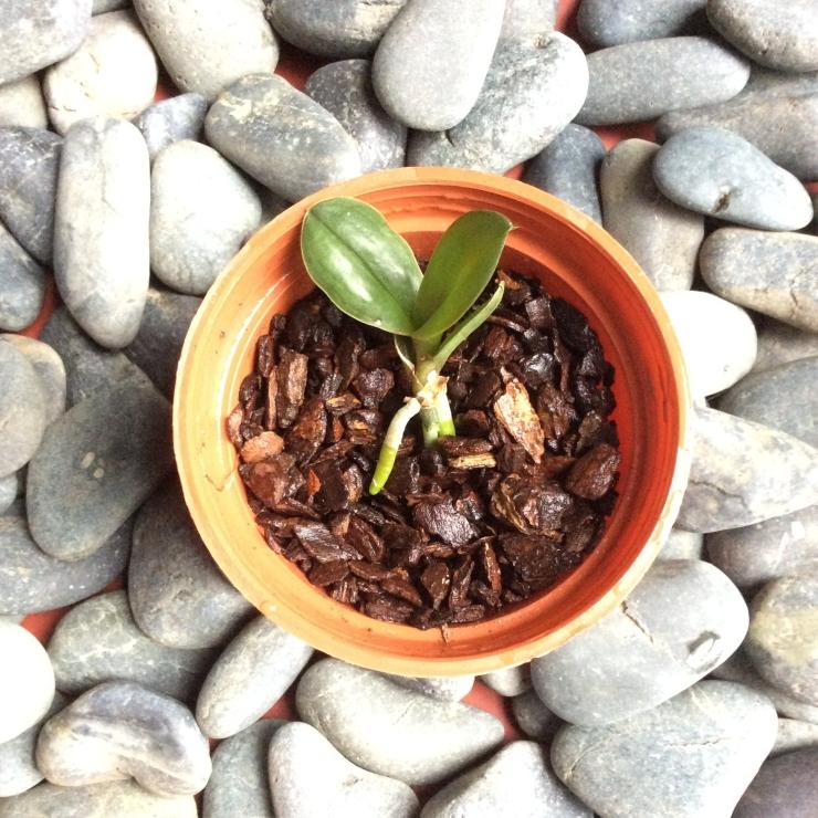 蝴蝶蘭花梗苗移植